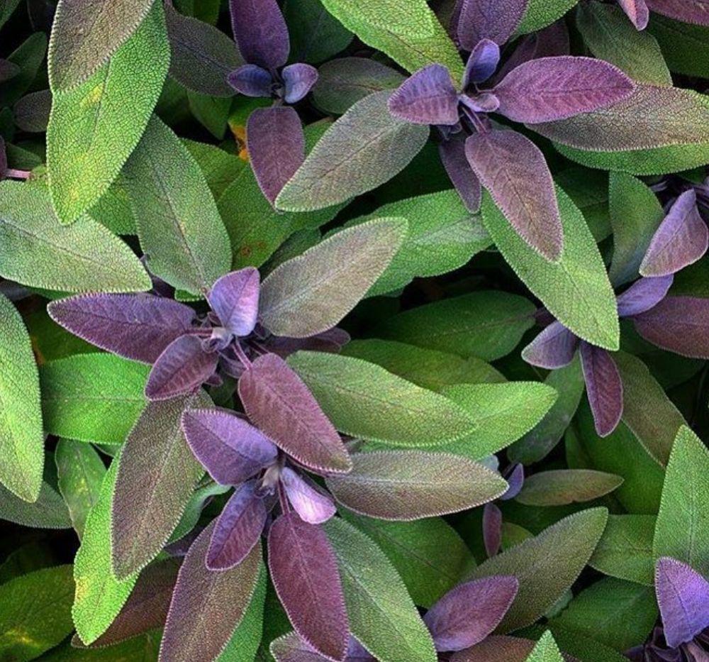 salieplanten eetbare planten kruidenborderpakket