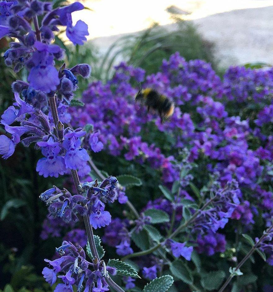 Bijvriendelijke blauwe tuinplant halfschaduw
