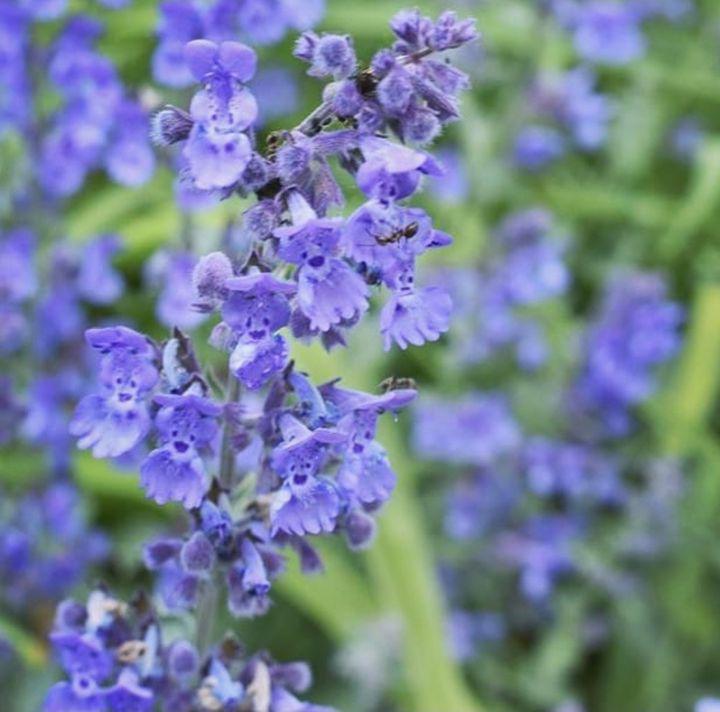 Prachtige bloemen blauw droge grond borderpakket