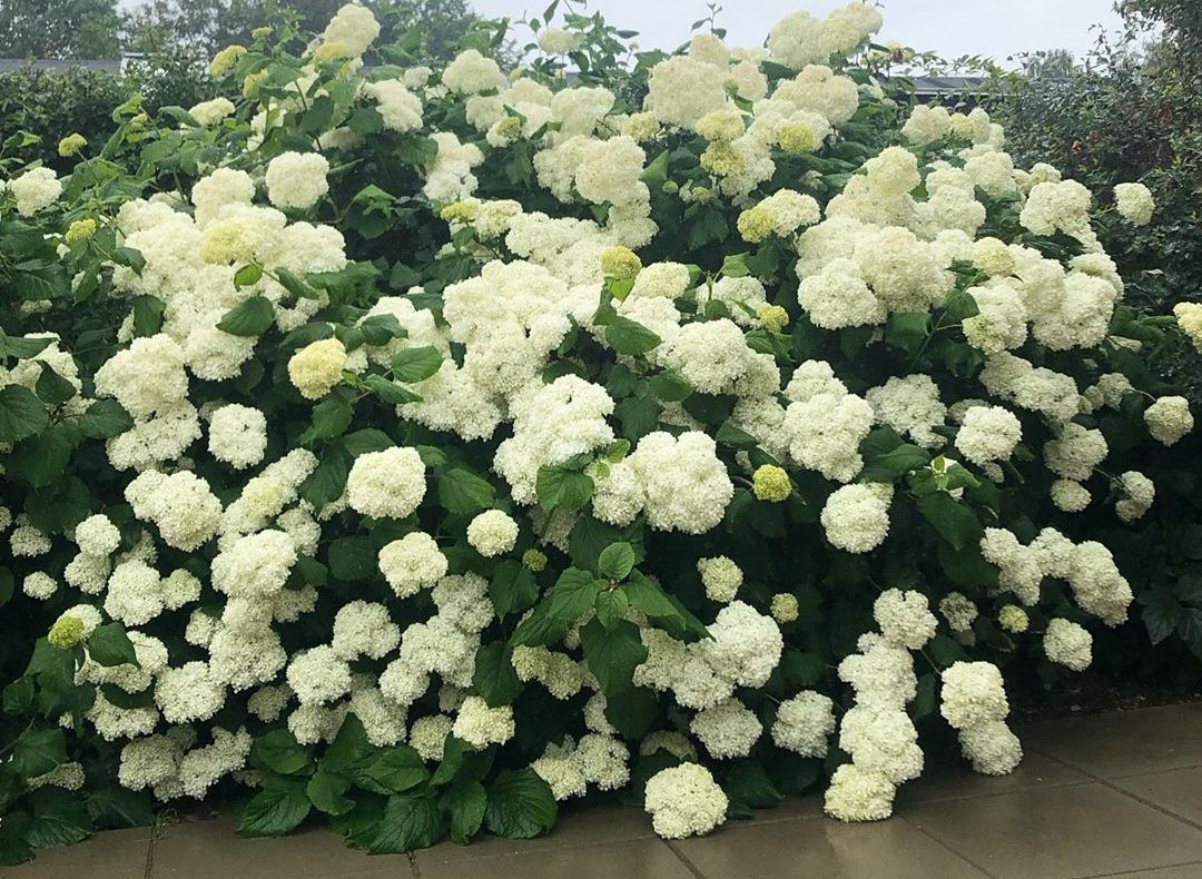 Hortensia annabelle witte bloemen groot