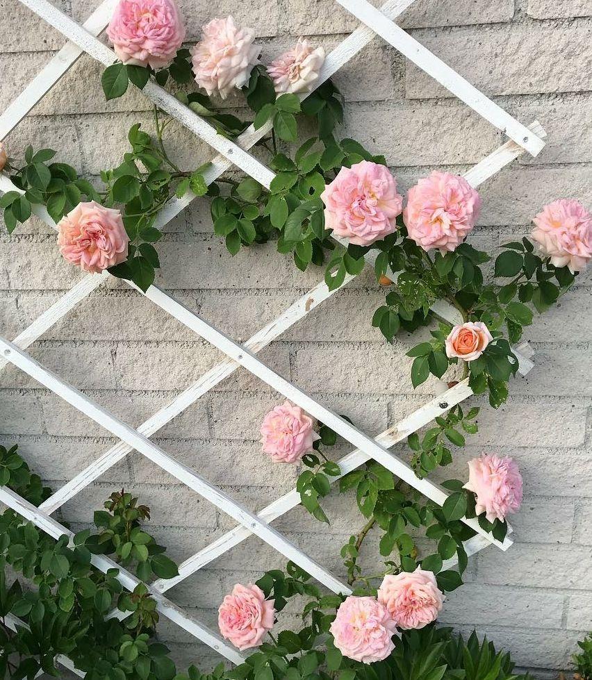 Klimrozen roze roos