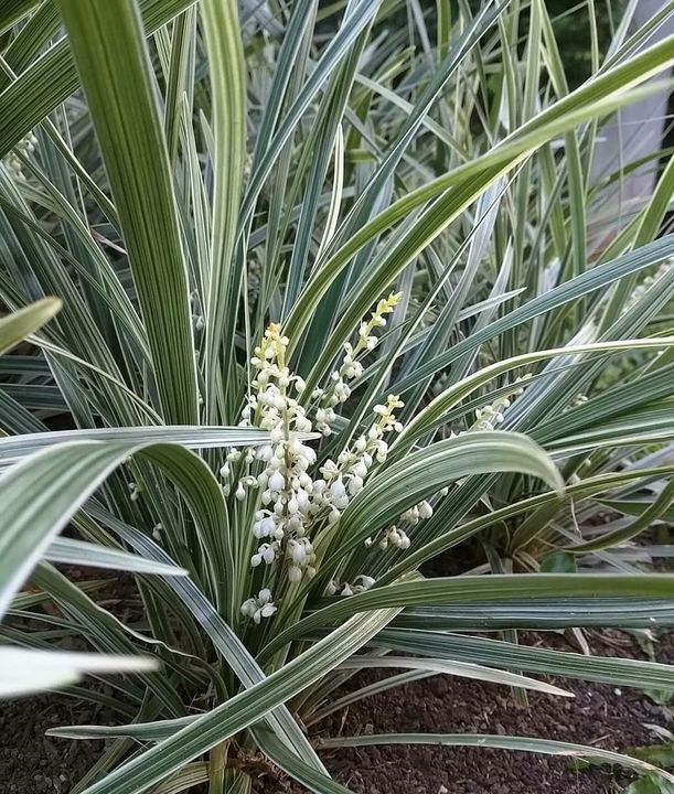 siergrassen met witte bloemen