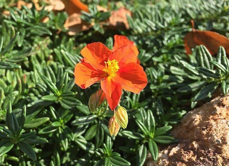 Nagelkruid oranje vlindertuin