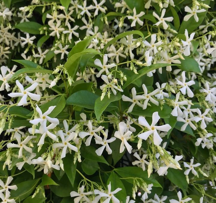 prachtig bloeiende klimplanten bloei