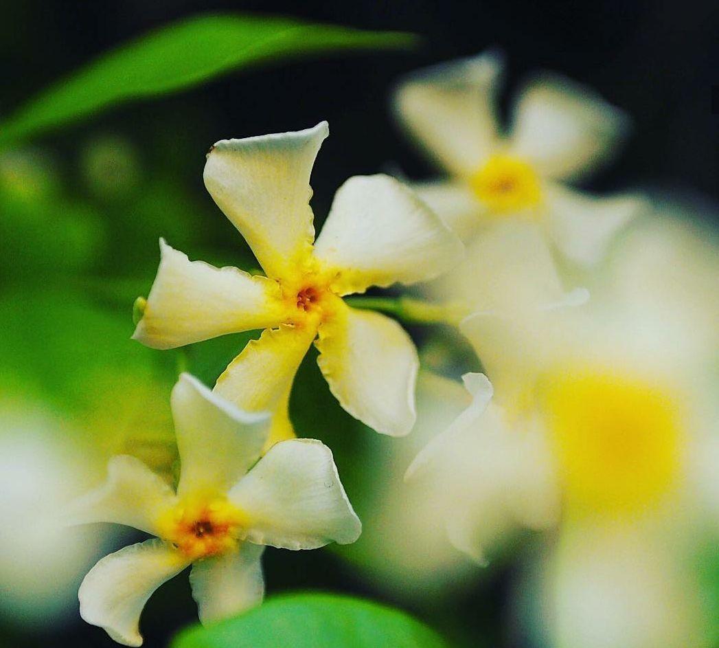 Toscaanse gele jasmijn geurende pergola planten