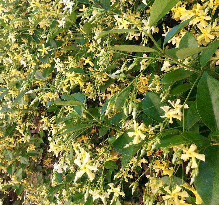 Toscaanse jasmijn geel