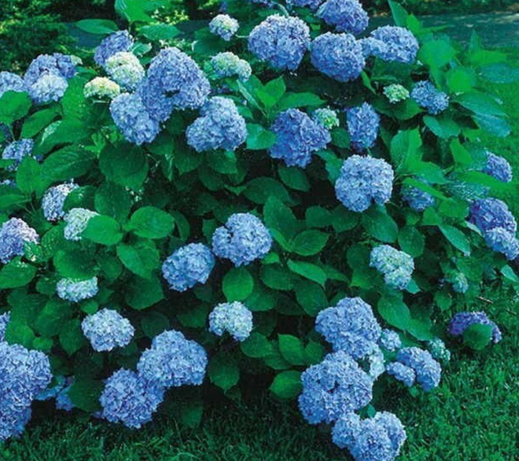 prachtige nikko blue hortensia