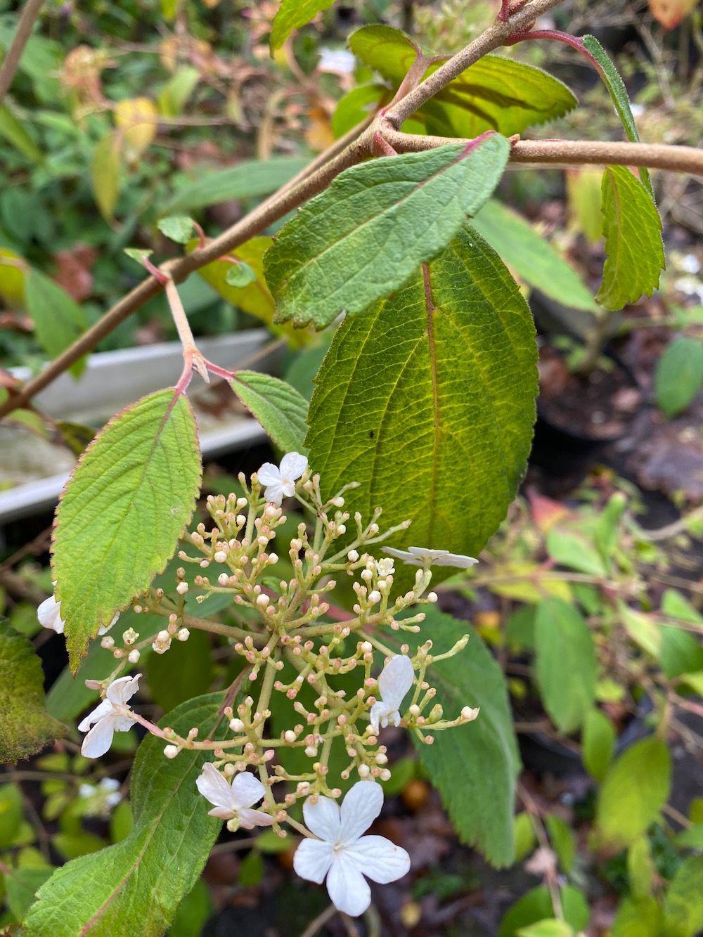 Japanse sneeuwbal - Viburnum plicatum 'Watanabe'