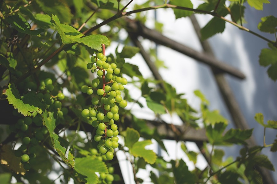 Druiven trellis tuin