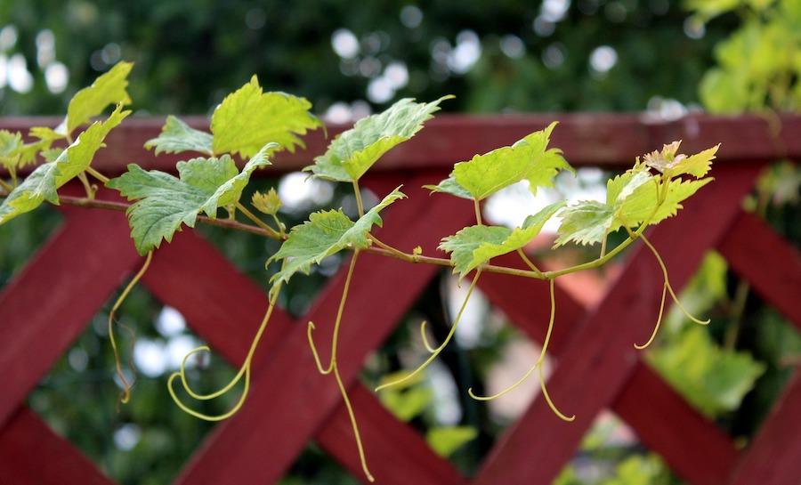trellis scherm klimplant