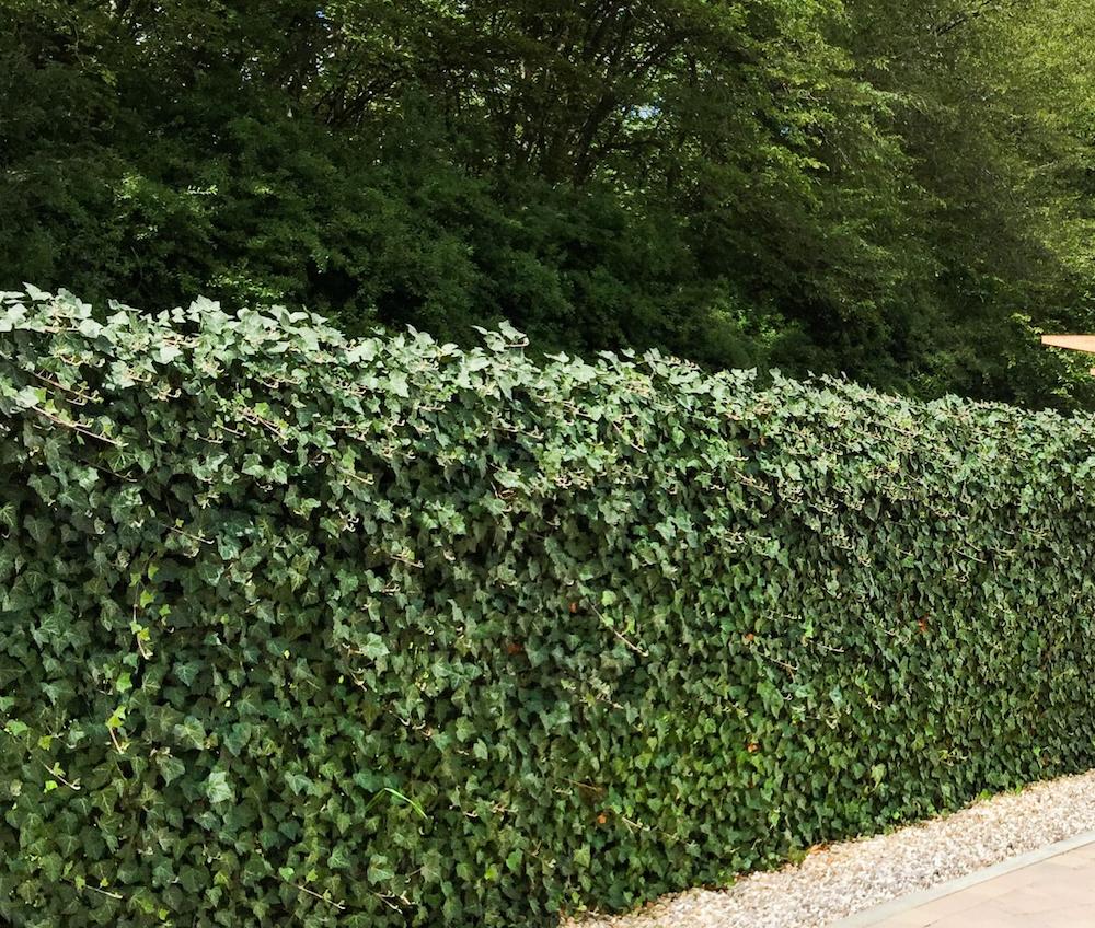 Hedera Scherm Kant En Klaar.Kant En Klaar Haag Hederascherm 180 X 120 Cm Trellis Inclusief Hedera Klimop Groene Haag
