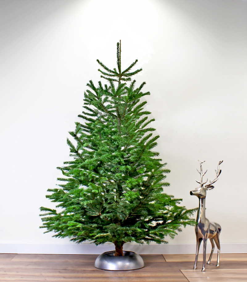 Kerstboom 3 Meter Nordmann Spar 300 325 Cm