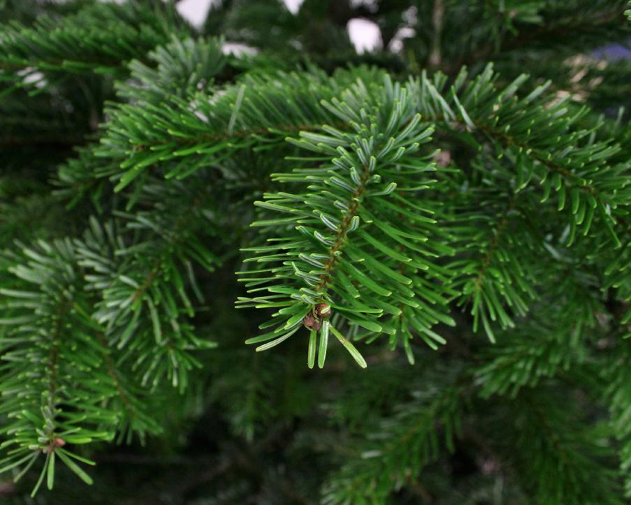 Kerstboom Nordmann Spar 250 275 Cm Kopen 2 5 Meter