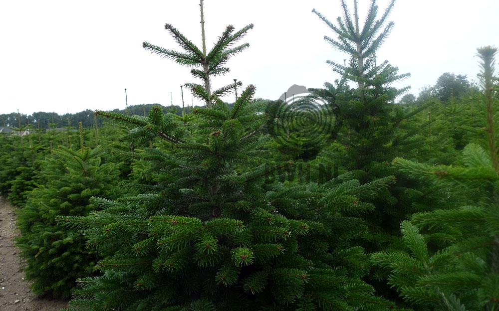 Echte Kerstboom 4 Meter Nordmann 400 Cm Kopen