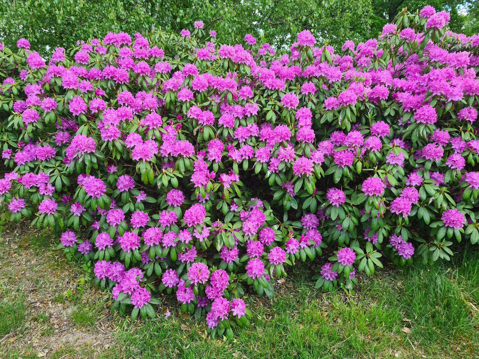 Rhododendron - groenblijvende heesters