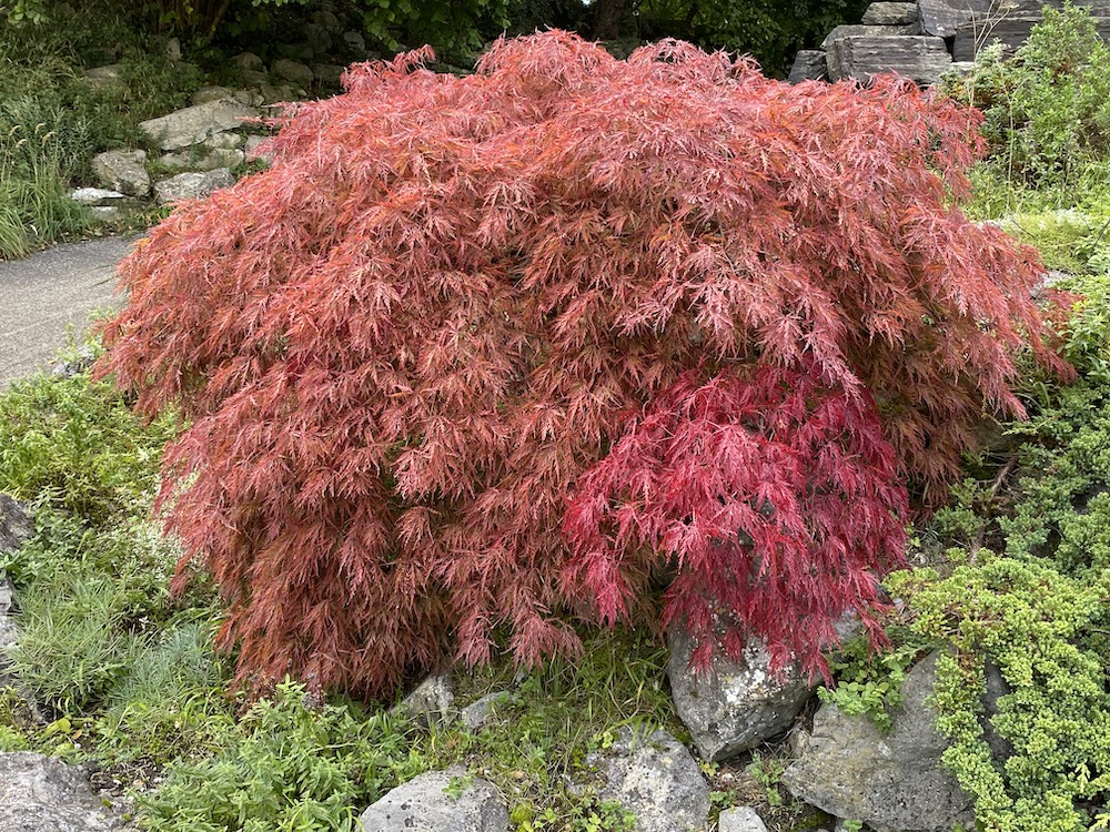 Acer Japanse Esdoorn steekt mooi af bij groene heesters en wit, blauw en gele bloeiers