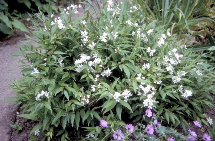 Tuinplanten heesters klein wit