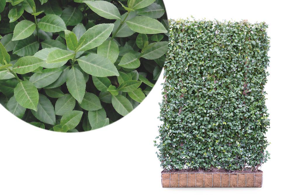 euonymus heg planten