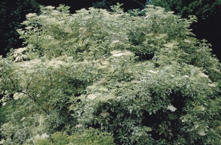 Vlier heester tuinplanten