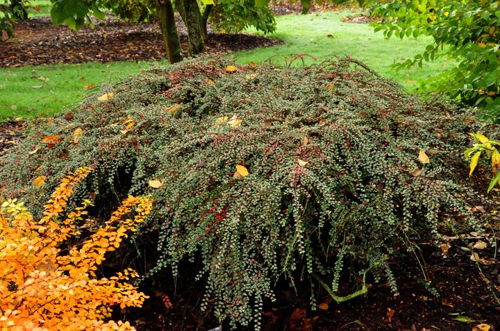 Mispel plant