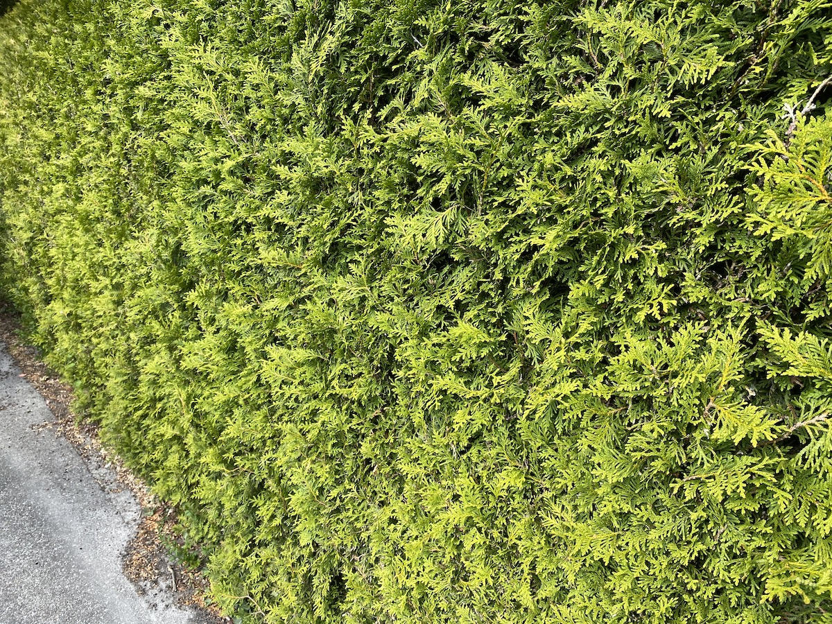 Thuja Brabant haagplant